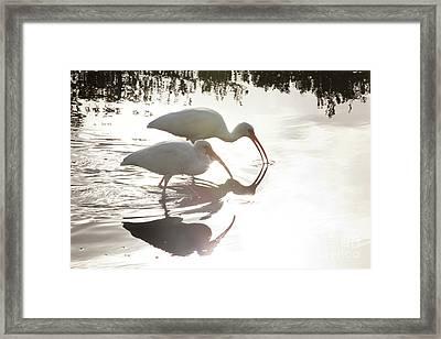 Feeding White Ibis Framed Print by Keith Kapple
