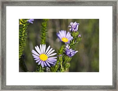 Felicia (felicia Echinata) Flowers Framed Print by Peter Chadwick