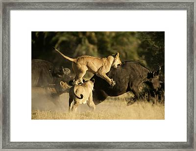 Female African Lions Pounce On An Framed Print by Beverly Joubert