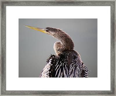 Female Anhinga Framed Print by Paulette Thomas
