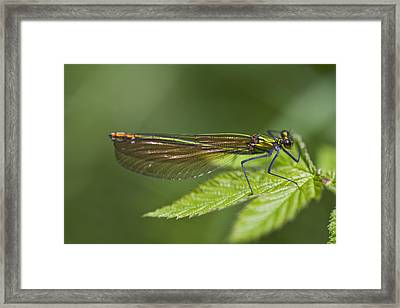 Female Banded Demoiselle Damselfly Framed Print