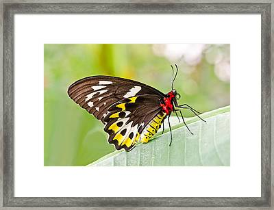 Female Cairns-birdwing Butterfly Framed Print by Chris Thaxter
