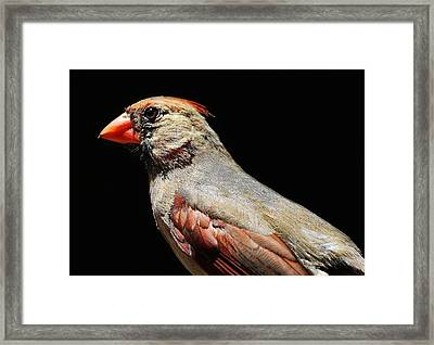 Female Cardinal Framed Print by Paulette Thomas