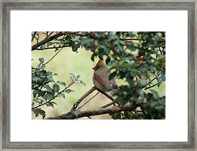 Female Cardinal Framed Print by Ron Smith