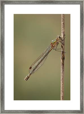 Female Emerald Damselfly Framed Print by Andy Astbury