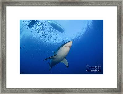Female Great White, Guadalupe Island Framed Print by Todd Winner