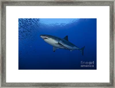 Female Great White With Remora Framed Print by Todd Winner