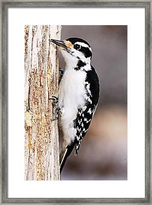 Female Hairy Woodpecker Framed Print