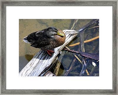 Female Mallard Framed Print by Paula Tohline Calhoun