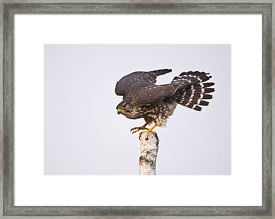 Female Merlin Framed Print by Photographs By Les Piccolo