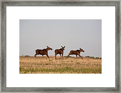 Female Moose With Male Calves In Saskatchewan Field Framed Print by Mark Duffy