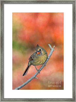 Female Northern Cardinal - D007809 Framed Print by Daniel Dempster
