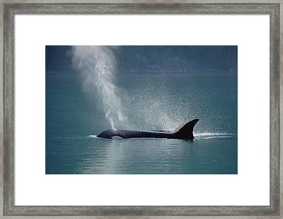 Female Orca Spouting Alaska Framed Print by Konrad Wothe