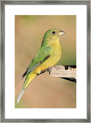 Female Painted Bunting Framed Print