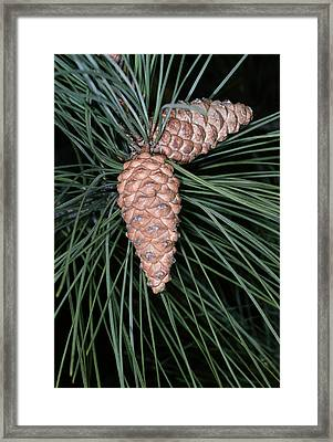 Female Pine Cones Framed Print by Bob Gibbons