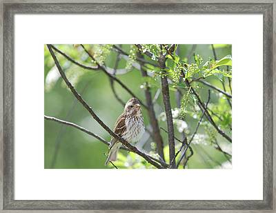 Female Purple Finch Framed Print