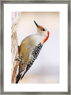 Female Red-bellied Woodpecker 2 Framed Print