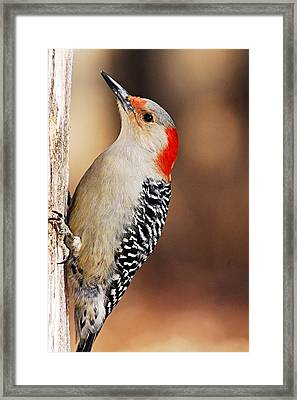 Female Red-bellied Woodpecker 4 Framed Print