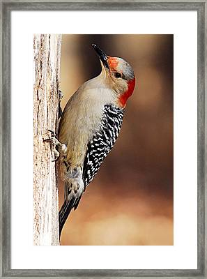 Female Red-bellied Woodpecker 5 Framed Print