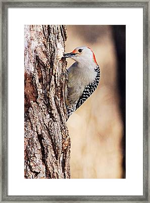 Female Red-bellied Woodpecker 6 Framed Print