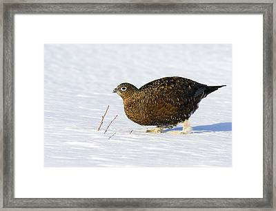Female Red Grouse In Snow Framed Print by Duncan Shaw