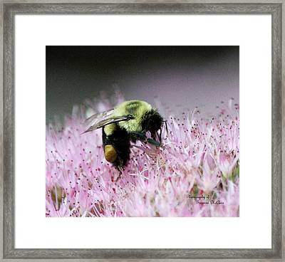 Female Worker Bumble Bee With Pollen Sack On Hen And Chick Plant Framed Print by Suzanne  McClain