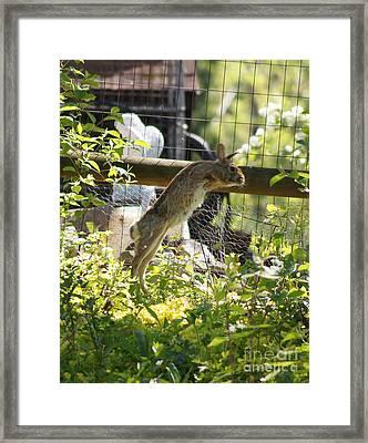 Fence Jumping Rabbit Framed Print