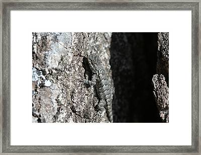 Fence Lizard Framed Print by Sean Green