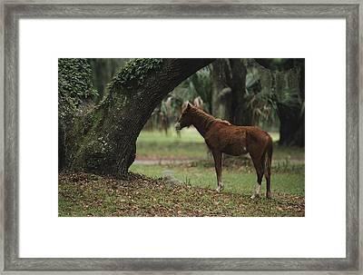 Feral Horse Munching Spanish Moss Framed Print by Raymond Gehman