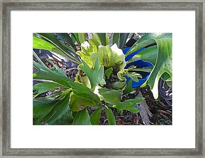 Fern With Blue Bucket Framed Print by Patricia Greer