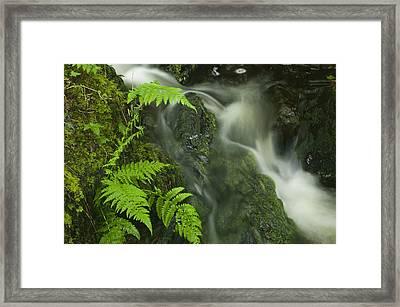 Ferns Growing In Spring Framed Print by Nigel Hicks