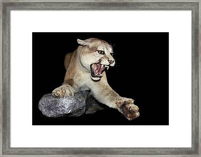 Ferocious Puma Framed Print by Kristin Elmquist