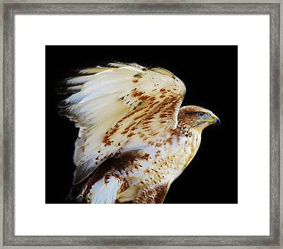 Ferruginous Hawk Framed Print by Paulette Thomas