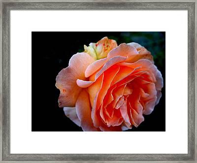 Feuerrose Framed Print by Photo by Ela2007