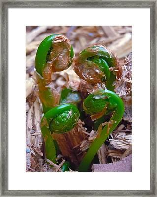 Fiddlehead Quartet Framed Print by Jim Albert