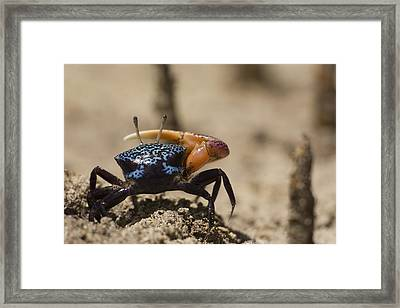 Fiddler Crab Living In A Sandy Tidal Framed Print