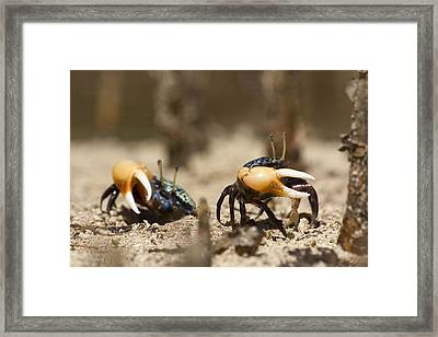 Fiddler Crabs Living In The Roots Framed Print