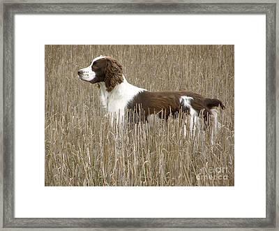 Field Bred Springer Spaniel Framed Print