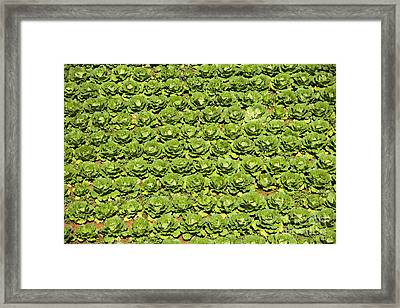Field Of Cabbage Framed Print by David Buffington