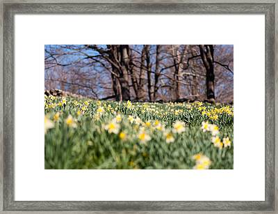 Field Of Daffodils Framed Print by Ron Smith