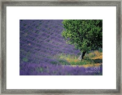 Field Of Lavender Framed Print by Bernard Jaubert