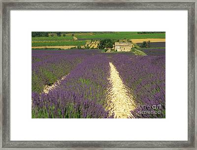 Field Of Lavender. Drome Framed Print by Bernard Jaubert