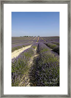 Field Of Lavender. Valensole. Provence Framed Print by Bernard Jaubert
