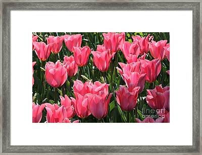 Field Of Pink Tulips Framed Print by Marjorie Imbeau