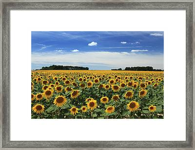 Field Of Sunflowers France Framed Print by Pauline Cutler