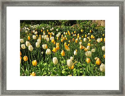 Framed Print featuring the photograph Field Of Tulips by Helen Haw