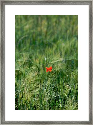 Field Of Wheat With A Solitary Poppy. Framed Print by Bernard Jaubert