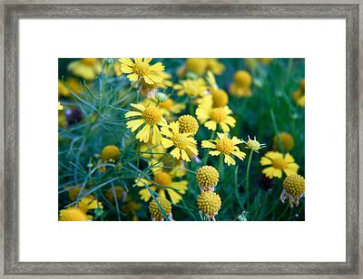 Field Of  Yellow Daisies  Framed Print
