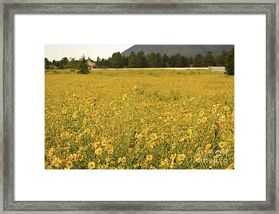 Field Of Yellow Daisy's Framed Print