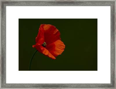 Field Poppy Framed Print by Rob Hemphill